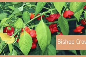 peperoncino bishop crown cappello del vescovo