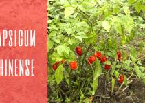 La specie Capsicum Chinense