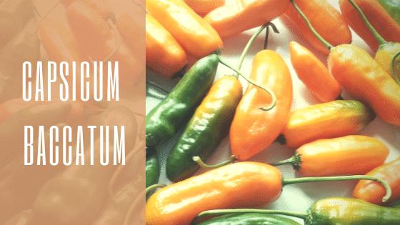 Specie Capsicum Baccatum