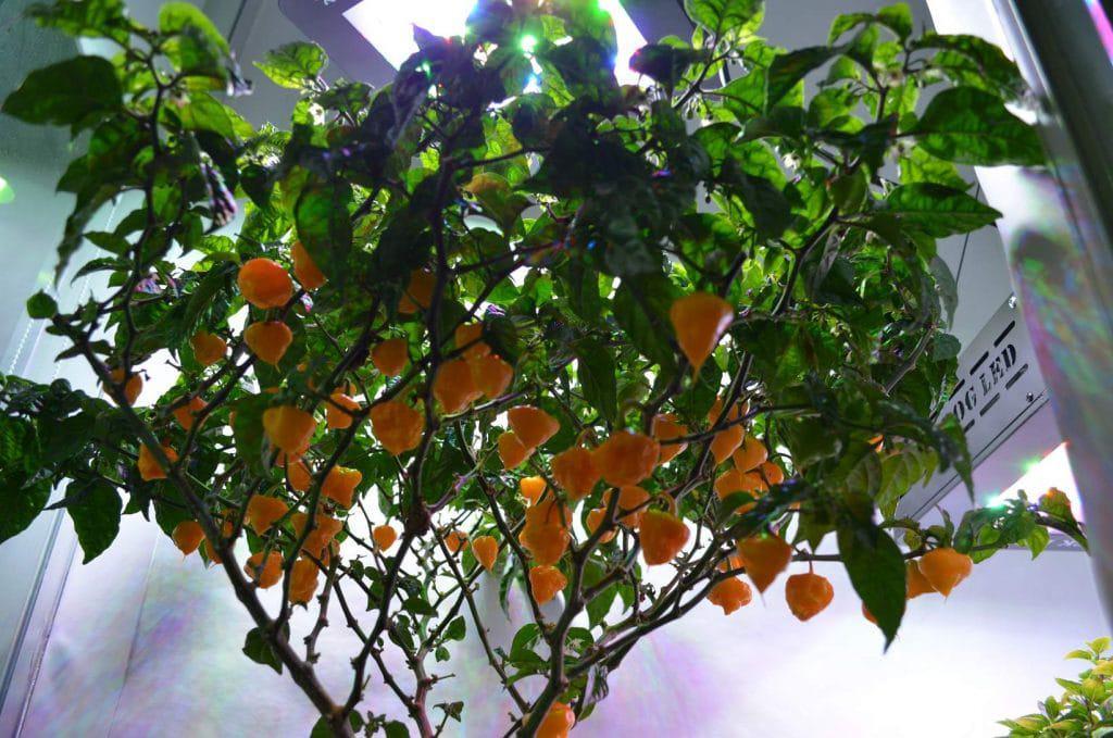 Coltivare l'Habanero Orange