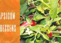 Specie capsicum pubescens, caratteristiche e coltivazione capsicum pubescens