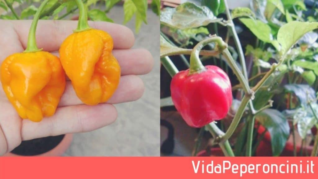 Coltivare peperoncini Habanero
