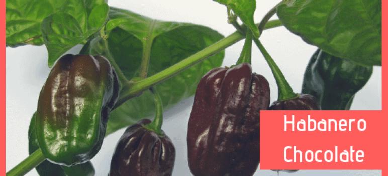 habanero chocolate, coltivazione habanero chocolate, conservazione habanero chocolate