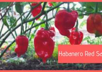 Pianta Habanero Red Savina