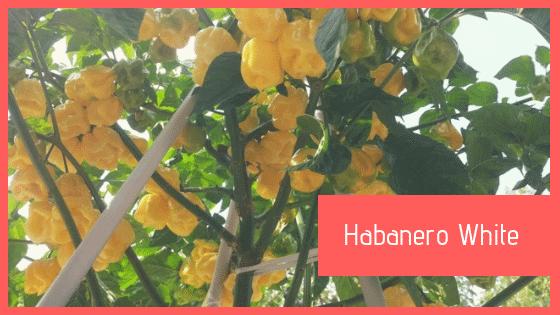 Peperoncino Habanero White