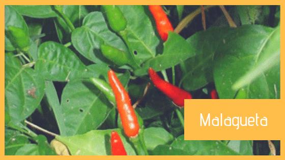 Peperoncino Malagueta