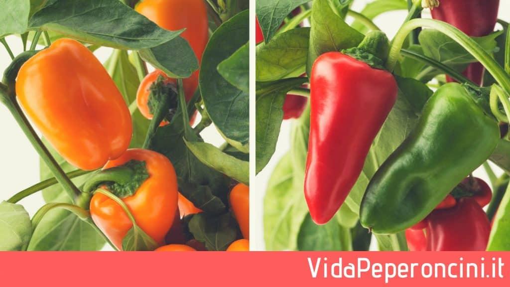 Peperoncini colorati Capsicum Annuum