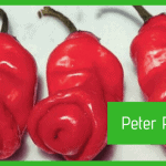 Peperoncino Peter Pepper