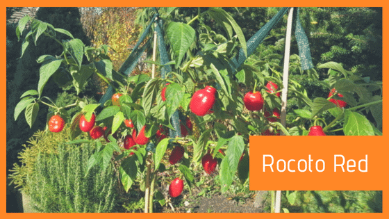 Rocoto rosso red