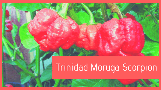 Trinidad Moruga Scorpion