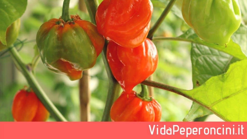 coltivazione habanero, pianta habanero