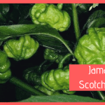 scotch bonnet peperoncino jamaican