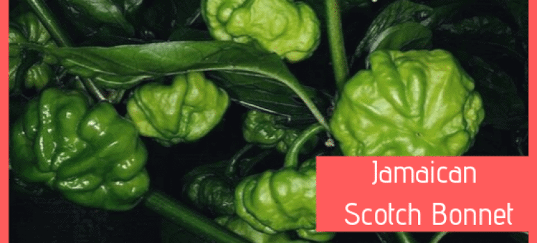 scotch bonnet peperoncino jamaican